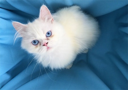 Romeo vom Frankfurter Katzenschutzverein